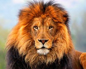 Lost a Lion
